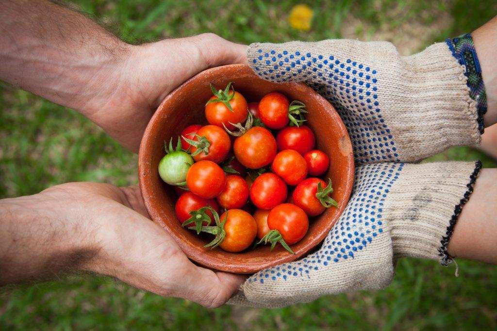 Tomaten Ernte Landwirtschaft